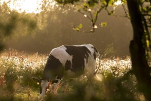 cow, pasture, cows