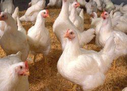 Lonja avicultura-Diaz del Prado